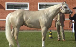 Булонская порода лошадей: происхождение, характеристика, особенности ухода