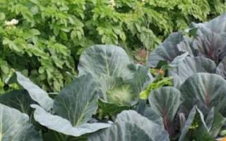Что можно сажать после капусты?