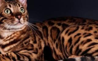 Кошка бенгальской породы: фото, цена, описание, характер, уход