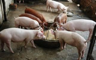 Сколько комбикорма ест свинья в сутки?