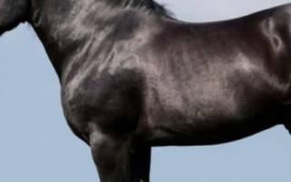 Порода лошадей литовский тяжеловоз: описание