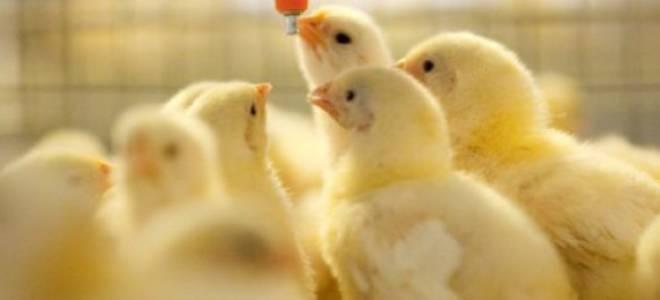 Особенности светового режима для цыплят