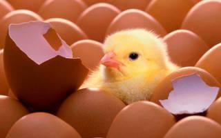 Как вылупляются цыплята. Подробное описание процесса