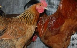 Кучинская юбилейная порода кур: описание, характеристика, фото и отзывы