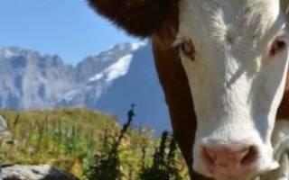 Как запустить корову перед отелом?