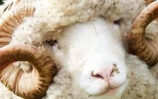 Породы тонкорунных овец: описание и характеристика