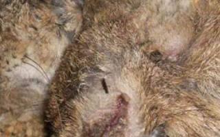 Чумка у кроликов: симптомы и лечение