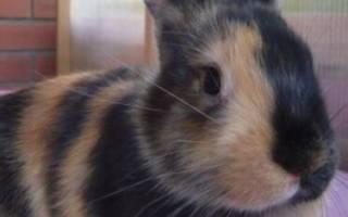 Японский карликовый кролик: описание и характеристики
