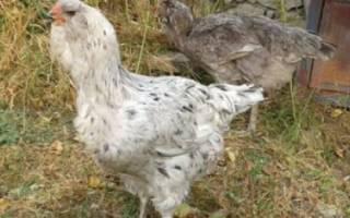 Гилянская порода кур: описание, фото, характеристики