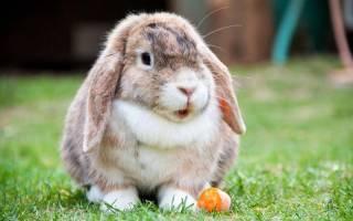 Кролик баран: история породы и разновидности