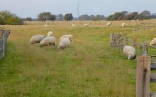 Куйбышевская порода овец: описание и характеристика