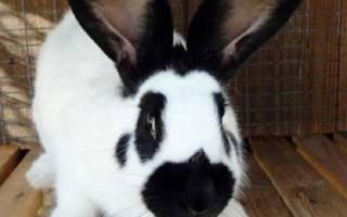 Кролик строкач: описание и характеристики
