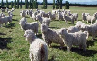 Ангорская коза — описание породы, продуктивность, разведение