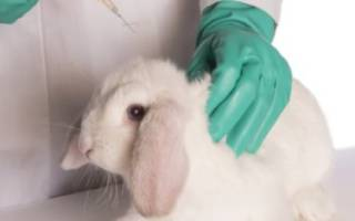 Вирусная геморрагическая болезнь кроликов (ВГБК): симптомы и лечение