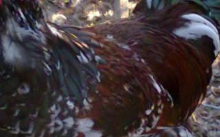 Ливенская ситцевая порода кур: описание, фото, характеристики