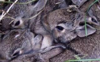 Когда крольчата выходят из гнезда?