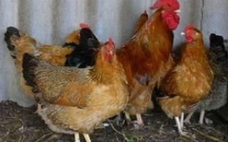Пастереллез у кур: признаки, симптомы и лечение