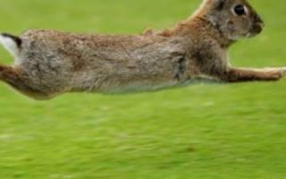 Чем отличается кролик от зайца: в чем разница между ними?