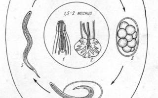 Эзофагостомоз свиней: симптомы, лечение
