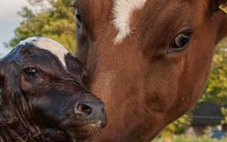 Болезни коров после отела: симптомы, характеристика и виды