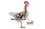 Воспаление зоба у кур: симптомы и лечение