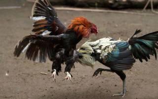 Куры клюют яйца: причина и что делать с агрессивной курицей