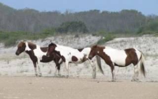 Лошадь породы пинто: история, внешние характеристики, разновидности масти