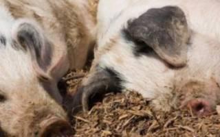 Сибирская язва у свиней: симптомы и лечение