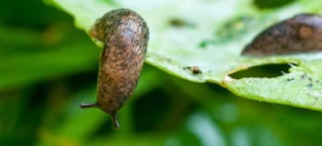 Как бороться со слизнями на капусте: препараты, народные средства