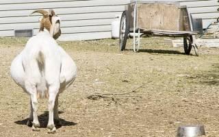 Сколько длится беременность у козы: признаки и подготовка к окоту