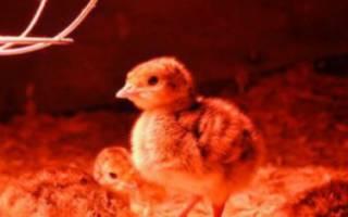 Выращивание цыплят бройлерных и яичных пород