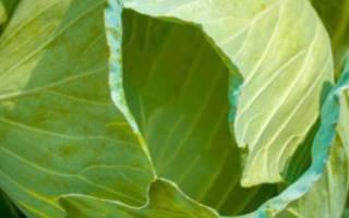 Лучшие ранние и ультраранние сорта белокочанной капусты