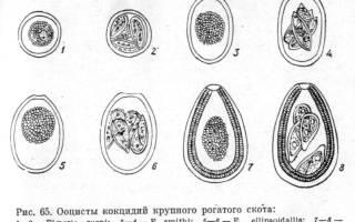 Эймериоз КРС: симптомы и лечение