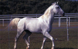Липицианские лошади — описание экстерьера, качества породы