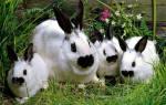 Кролики породы бабочка: описание и разведение