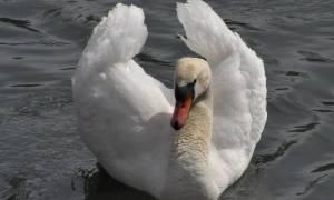 Лебедь-шипун: внешний вид и содержание в домашних условиях