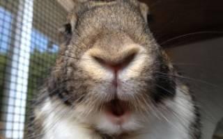 Бешенство у кроликов: симптомы, лечение, вакцинация