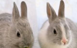 Как отличить декоративного кролика от обычного?