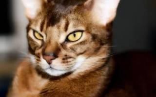 Абиссинская кошка: описание с фото, характер, содержание и уход