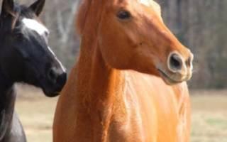 Порода лошадей кустанайская: происхождение, описание, применение