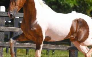 Порода лошадей камполина: происхождение и описание