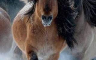 Якутская порода лошадей: описание и характеристика