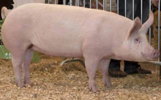 Породы свиней России