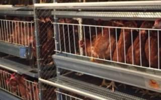 Выращивание бройлеров в клетках на мясо для начинающих