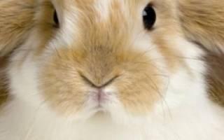 Почему у кролика горячие уши?