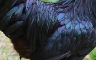 Самые дорогие, экзотические и редкие породы куриц