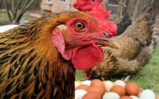Куры клюют яйца: причина и что делать, способы борьбы