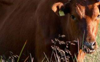 Красная датская порода коров: характеристика, содержание