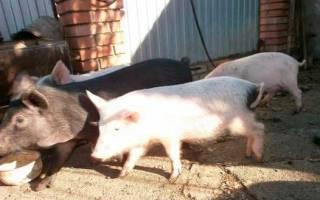 Незаразные болезни свиней и их характеристика