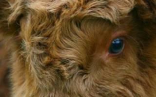 Шотландская корова (Хайленд): характеристика, уход